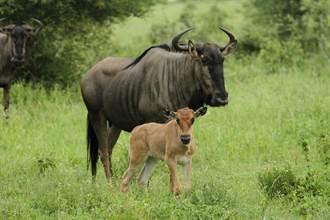 新生牛羚還站不穩就遭圍剿 下秒極限逃生 靈活到鬣狗全看傻