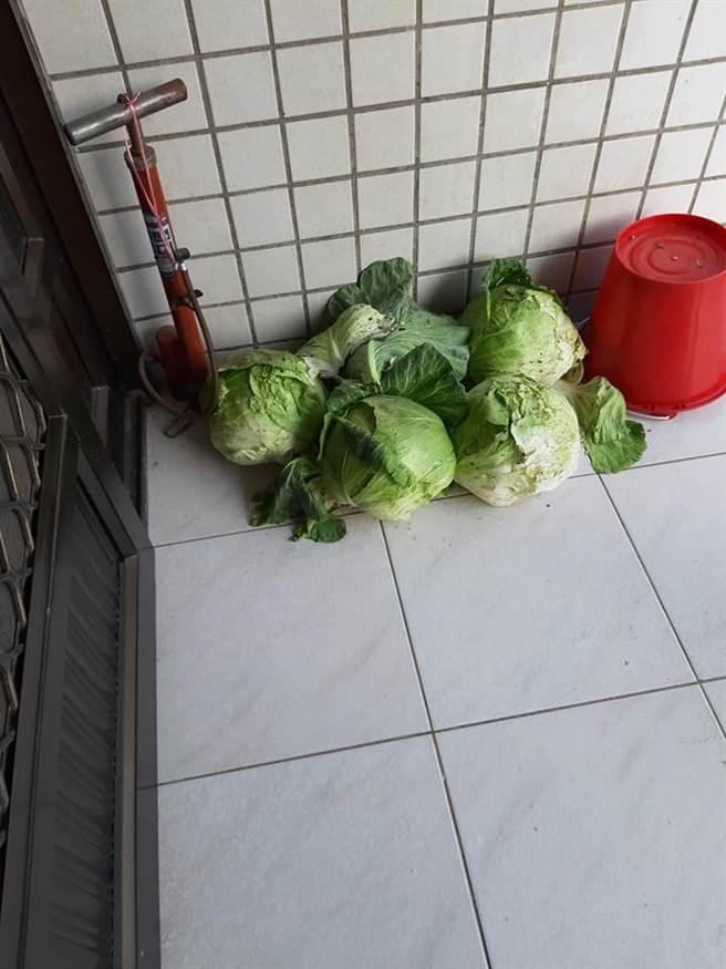 女網友貼出鄰居送的5大顆高麗菜。(圖取自爆怨公社)