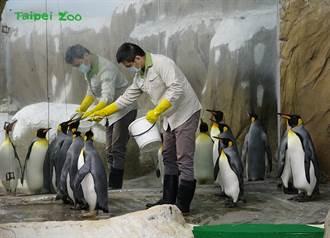 國王企鵝耍大牌只吃秋刀魚 北市動物園2招秒搞定