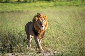 公獅為吃疣豬挖洞7小時 一度腿軟倒栽蔥 滿身泥巴超狼狽