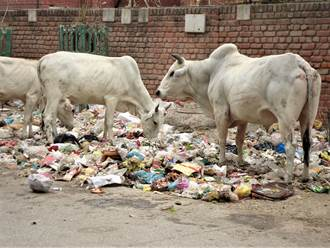懷孕乳牛剖腹竟拉出71kg垃圾 鐵釘、碎玻璃全被吃下肚