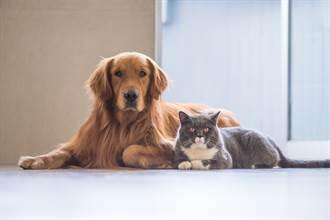 擔心店貓抓傷小朋友 金毛霸氣叼回屋內 90萬網笑噴狂重播