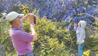 賞花亂象惹禍 紫瀑花牆被砍光