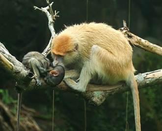 北市動物園又爆脫逃!紅猴同伴掩護 保育員顧此失彼得逞