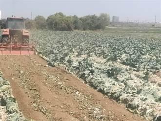 高麗菜生產過剩價格崩 農民忍痛耕鋤