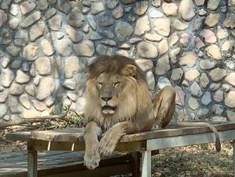 高雄壽山動物園非洲獅「小巴」 12日不敵病魔過世
