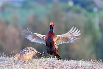 環頸雉公鳥守護母鳥 鳥友讚「暖男」