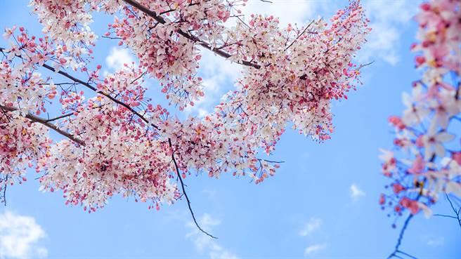 花旗木,又名「桃紅陣雨樹」,遠看如櫻花。(攝影/蔡嘉瑋)