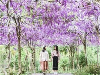 淡水紫藤咖啡園一夜紫爆 提前3/13開放賞花快把握
