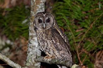 至太平山當夜探 探尋指標性夜行猛禽──貓頭鷹