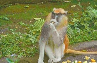 靠同伴掩護 北市動物園紅猴脫逃