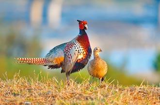 環頸雉公鳥護妻 鳥友讚暖男