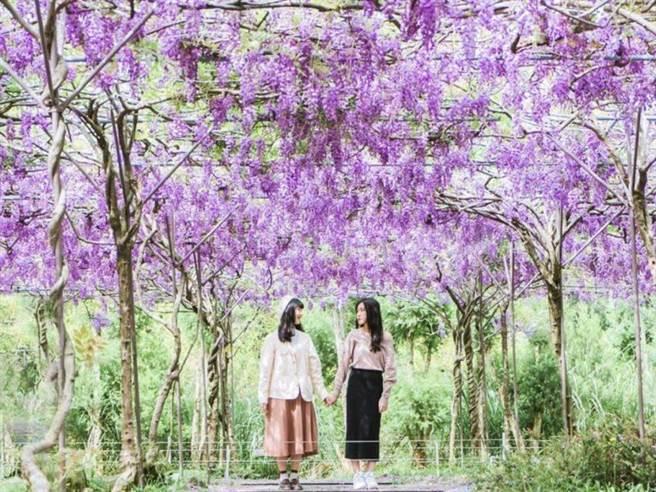 淡水紫藤咖啡園一夜紫爆 提前3/13開放賞花快把握 - 生活