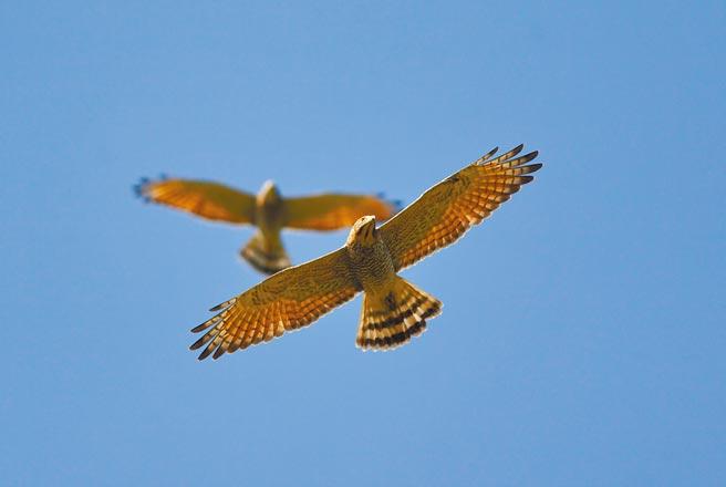 拜疫情之賜,俗稱南路鷹的灰面鵟鷹去年、今年春分北返潮數量都暴增至3萬多,數量驚人;群鷹遷徙的生態奇景也成為八卦山年度賞鷹盛事。(彰化縣野鳥學會提供/謝瓊雲彰化傳真)