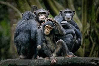 疫情沒遊客 2間動物園黑猩猩迷上視訊 每天熱線6小時