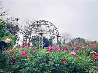 台北玫瑰園開展 周邊景點吃喝玩樂一把抓