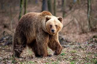 影》逃脫動物園 棕熊狂追路人驚險畫面曝光 下場淒慘