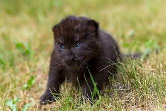 收養遭棄小黑豹 以為會變霸氣猛獸 竟長成憨萌大貓