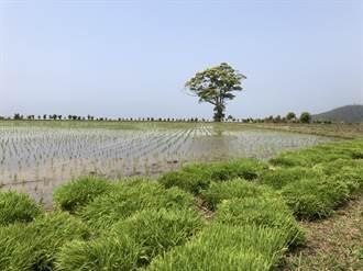 旱象嚴峻苗縣山泉面臨枯竭 獅潭海拔最高水稻印崗米減產