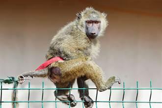 陽台打羽球 女大生慘遭猴子殺害