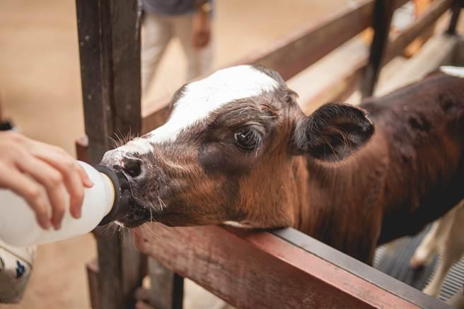 小牛達亨出生時,四肢被凍僵了,導致牠無法站起來,母牛知道自己無力救牠,便選擇棄養,而養牛場員工發現後,將牠帶回室內取暖,成功救回瀕死的小牛。(示意圖/達志影像)