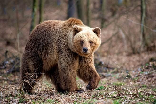 俄羅斯日前發生棕熊逃出動物園後,在路上遊蕩、猛追路人的事件,不過這頭棕熊在追趕過程中遭公車迎面撞上,送醫治療後,飼主還表明希望射殺牠。(示意圖/shutterstock)