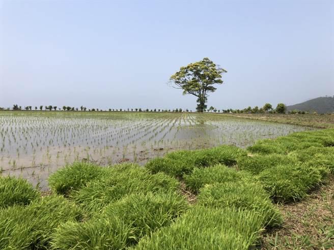 旱象嚴峻苗縣山泉面臨枯竭 獅潭海拔最高水稻印崗米減產 - 寶島