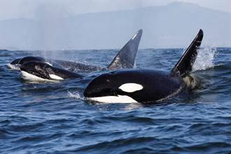 16m藍鯨遭70頭虎鯨圍殺分食 機智戰術專家驚:有策略性