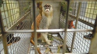 紅猴逃家 北市動物園蘋這招誘回