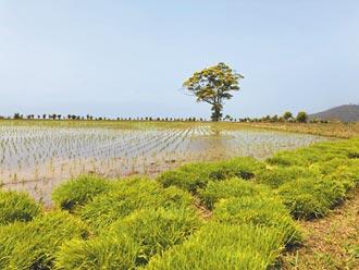 山泉水枯竭 印崗米產量腰斬