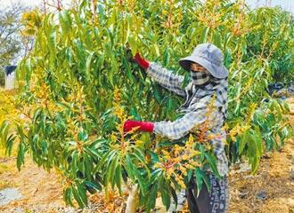 台南芒果花大開 農民超前部署搶工人