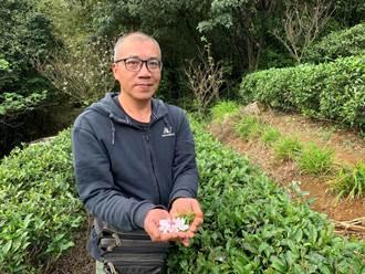 三芝農友粟益民開發獨特「櫻花茶」 所種茶葉外銷日本成為保養品
