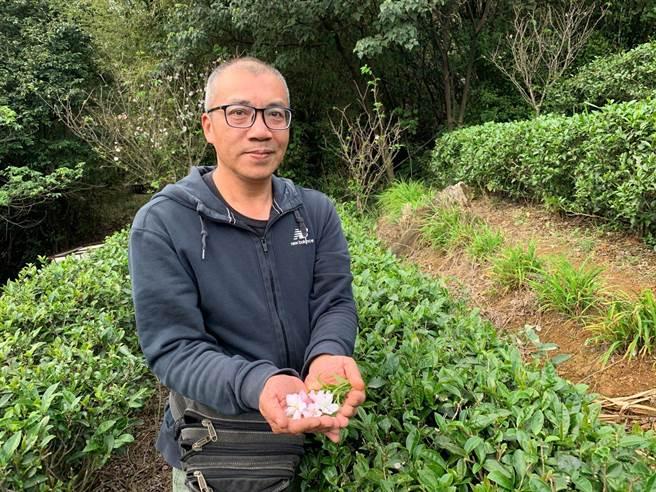 三芝農友粟益民開發獨特「櫻花茶」 所種茶葉外銷日本成為保養品 - 生活