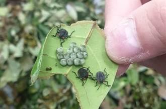 換將上陣 人力抓卵喊停彰化出動96萬雌平腹小蜂