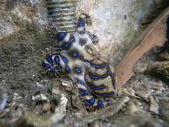 正妹發現迷你章魚嗨放手上把玩 一查驚覺自己逃過死劫