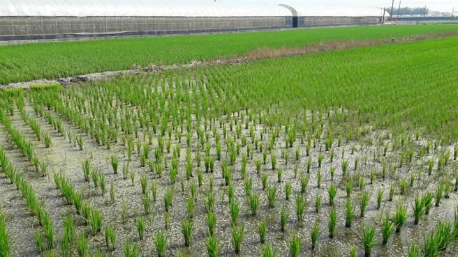 有98%农友都已插秧,再过几周结穗时需要大量灌溉水,让农民相当忧心,不知要损失多少。(县府提供/吴建辉彰化传真)