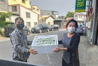 荔枝椿象蟲卵片收購、化學防治補助僧多粥少 台南農友盼增量