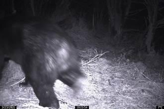 台灣黑熊3月首度現蹤嘉明湖 林管處呼籲山友結伴而行