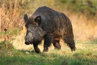 野豬遇大一倍黑熊勝算渺茫 激戰10分鐘結局出乎意料