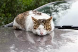 浪貓偷睡引擎蓋意外洩窘況 車主一看嘴角失守