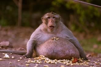 猴子待市場爆吃膨脹2倍 胖成「金剛」遊客全看傻