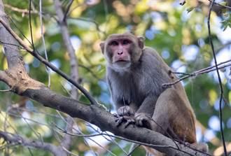 靈長類智商輾壓大貓 猛虎爬樹想吃猴子 慘中計落魄被摔