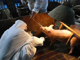 拚2023年豬瘟拔針 台南16養豬場啟動哨兵豬計畫