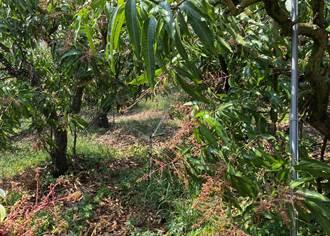芒果開花著果期缺雨 農改場前進玉井舉辦節水灌溉觀摩會