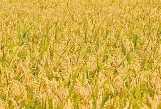 缺水農產品漲價?農委會:水稻價格漲2%、平穩合理