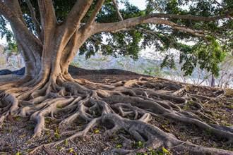 驚現能治病400年怪樹 出價80萬村民堅持不賣:不能亂動