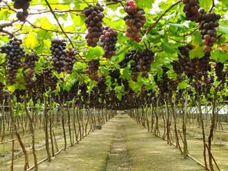 溪湖早春葡萄3至6月都算當季 農民揭開種植秘密