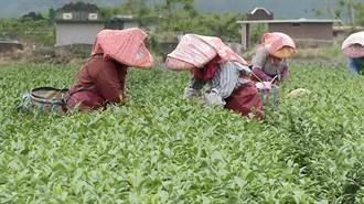 採茶工人嚴重短缺 台東茶農希望政府重視缺工困境