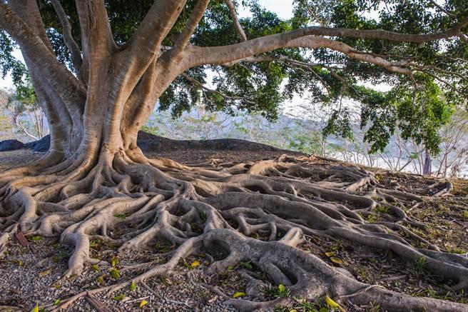中條山山腳下農村種了一棵能治病的怪樹,甚至有人開價78萬購買,村民始終堅持不賣。(示意圖/達志影像)