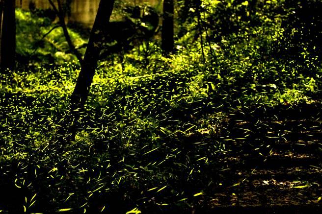 東勢林場螢火蟲爆發期一夜可達2、30萬隻,天色一暗,山林點點螢光飛舞,相當壯觀。(東勢林場提供/王文吉台中傳真)
